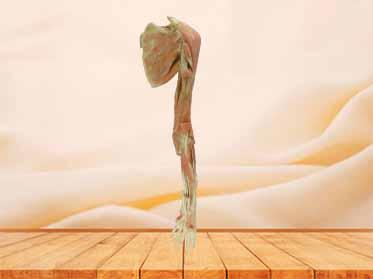 Deep muscle of upper limb plastinated specimen