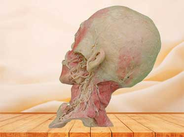 Deep vascular nerve of head and neck medical specimen