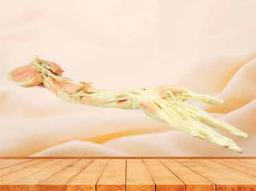 Deep vascular nerve of upper limb
