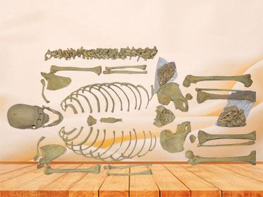 Detached human skeleton
