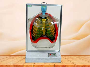 Electric human respiratory system model