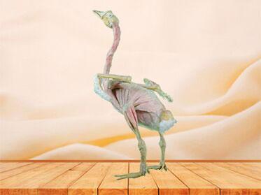 Goose animal anatomy specimen