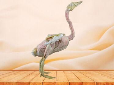 Goose plastination animal specimen
