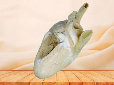 Heart cavity of cow plastinated specimen
