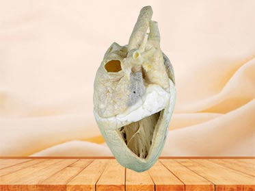 Heart cavity of cow specimen plastination