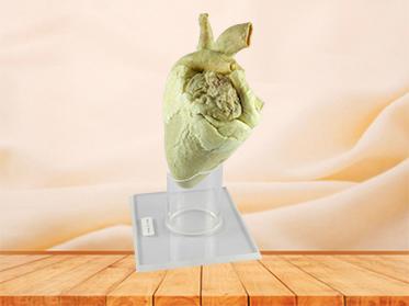 Heart of Horse medical specimen
