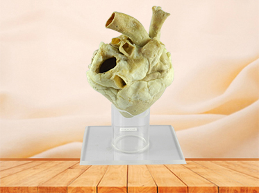 Heart of Horse plastination specimen