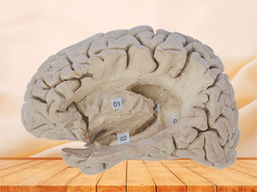 Hippocampal formation