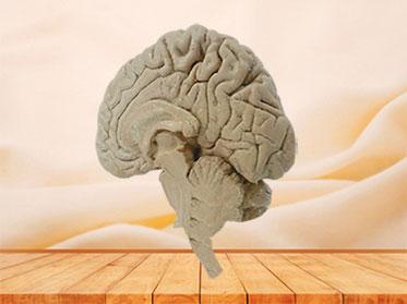 Human median sagittal section of brain