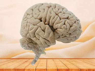 Human median sagittal section of brain plastination