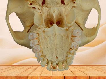 Human natural skull