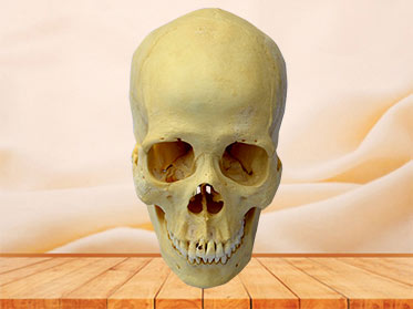Human real skull