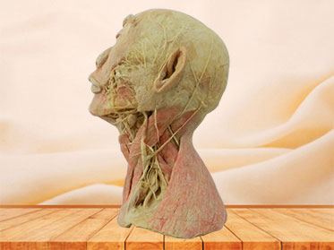 Human superficial vascular nerve of head and neck plastinated specimen