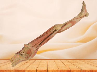 Human superficial vein and nerve of lower limb