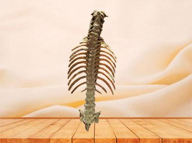 Human vertebral column plastinated specimen
