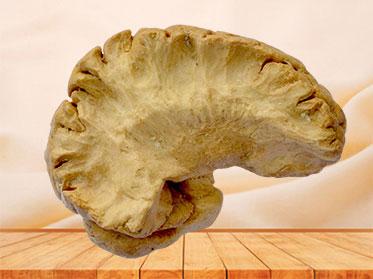 Insular lobe plastinated specimen
