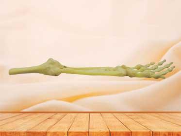 Joint of the upper limb specimen