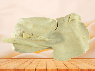 Liver of Horse plastinated specimen