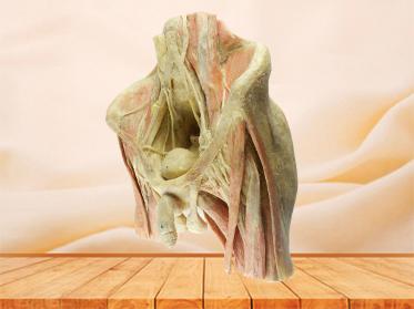 Male pelvic organs human plastination