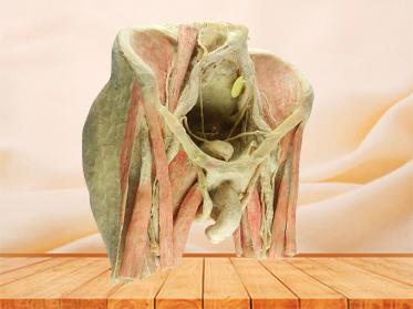 Male pelvic organs plastinated organs