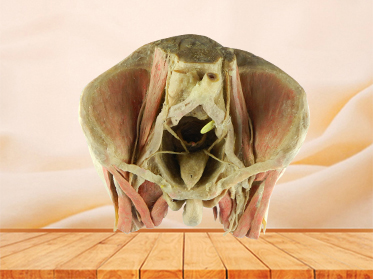 Male pelvic organs plastinated specimen