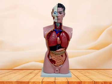 Male torso model