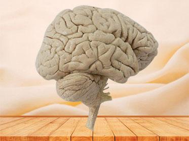 Median sagittal section of brain