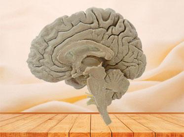 Median sagittal section of brain plastinated specimen