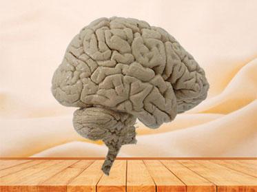 Median sagittal section of brain plastination