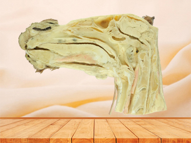 Median sagittal section of horse head
