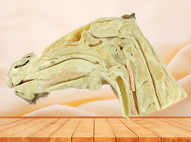 Median sagittal section of horse head for sale