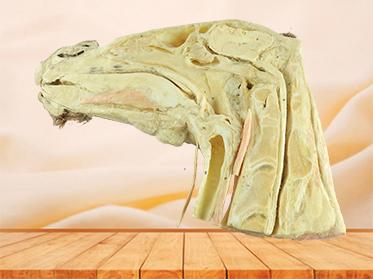 Median sagittal section of horse head plastinated specimen
