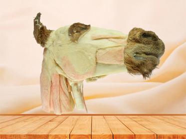 Median sagittal section of horse head teaching specimen
