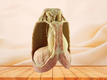 Mediastinal viscera with thorax plastinated specimen