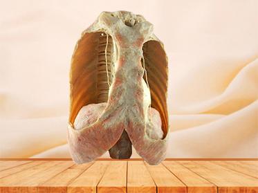 Mediastinal viscera with thorax specimen