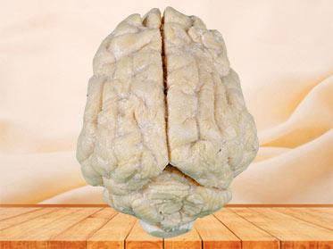 Pig brain plastination specimen