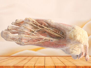 Plantar artery plastination specimen