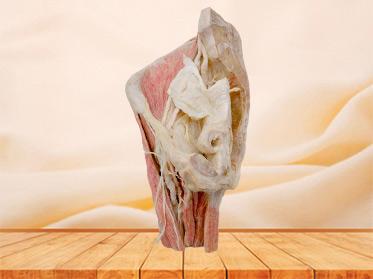 Sagittal section of Female pelvis anatomic specimen