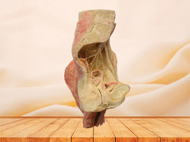 Sagittal section of Female pelvis plastinated cadaver