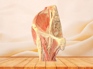 Sagittal section of Female pelvis plastinated organs