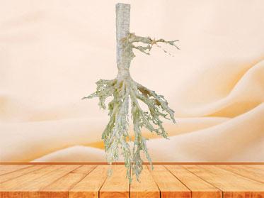 Sheep bronchial tree