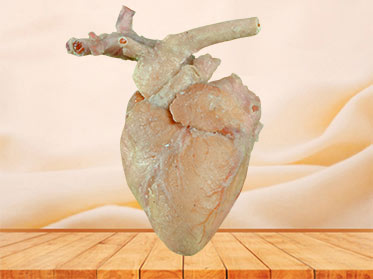 Sheep cardiovascular plastination specimen