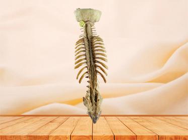 Spinal cord with nerves in vertebral column