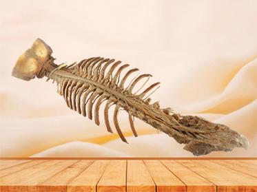 Spinal cord with nerves in vertebral column medical specimen