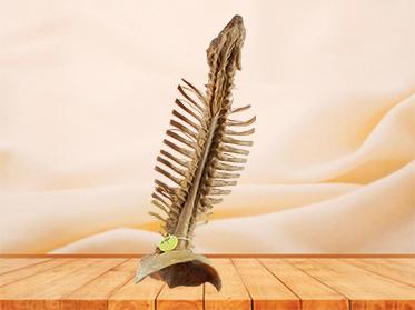 Spinal cord with nerves in vertebral column plastination