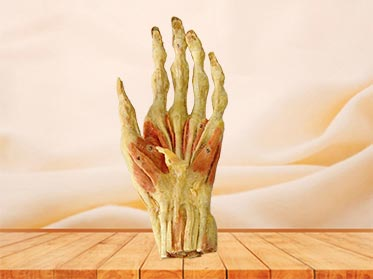 Superfical muscle of hand specimen