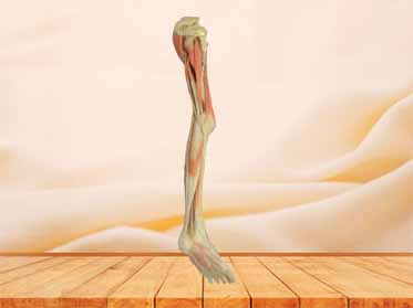 Superficial blood vessles and nerves of   lower limb specimen for sale