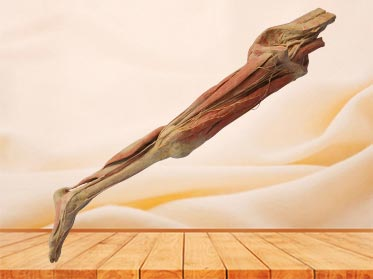 Superficial vein and nerve of lower limb