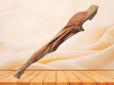 Superficial vein and nerve of lower limb plastinated specimen