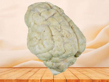 The anatomy of pig brain plastinated specimen